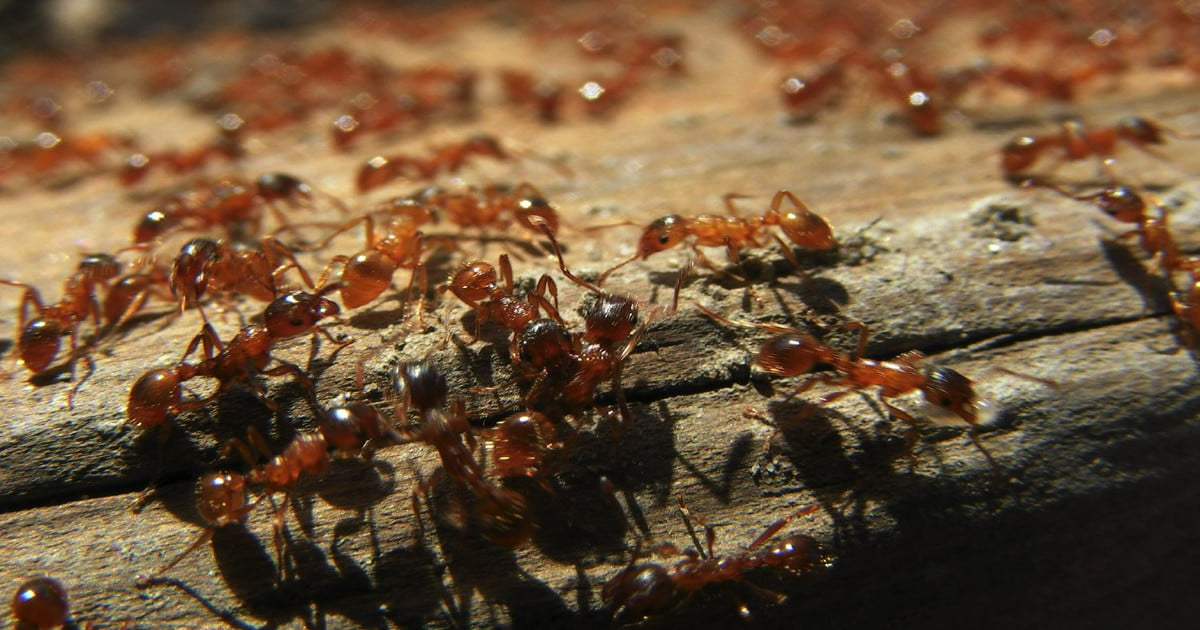 an analysis of the characteristics of ants and ant colonies The battle of the ants analysis one of the most little known species of ants in north america is the leaf-cutter ant more about essay on ant colony army.