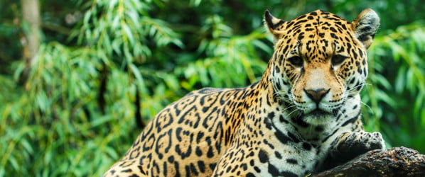 Selfie snapper attacked by jaguar during foolhardy photo attempt