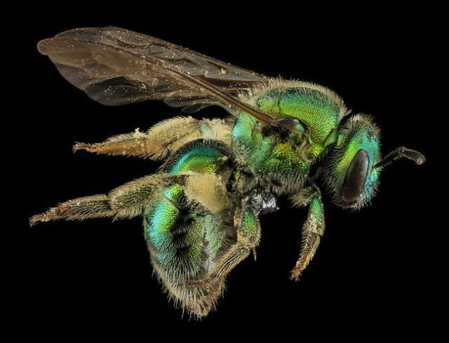 high resolution macro photos show amazing details bees wont cure fear bugs sam droge bee 2